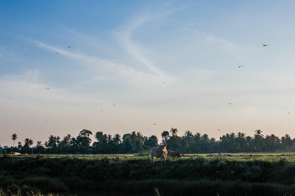 Sawah padi Jitra-Kodiang