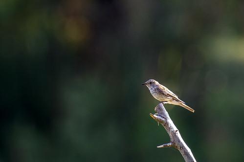 Spotted flycatcher -  Muscicapa striata - Grauwe vliegenvanger
