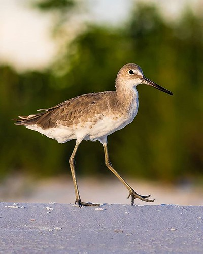 instagram ifttt bird nature shorebird florida beach sand wildlife feather beak willet fortmyers