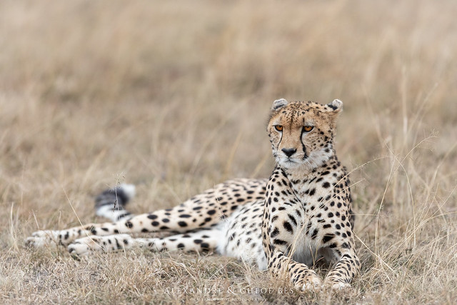Cheetah, Canon EOS 5D MARK IV, Canon EF 300mm f/2.8L IS