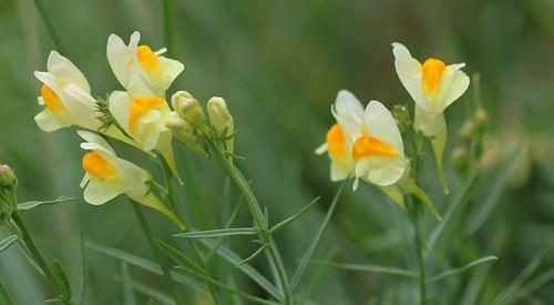 Linaria vulgaris - linaire commune 44709392731_b9dcba56e2
