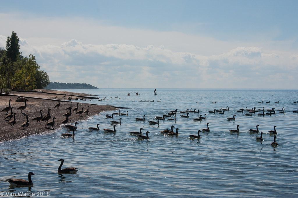 Canada geese, Lake Huron