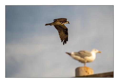 falmouth massachusetts osprey