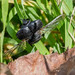 Hister Beetle sp. - Hister unicolor