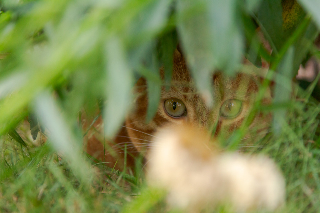 Our cat Sam peers out while hiding under some daisies in our backyard