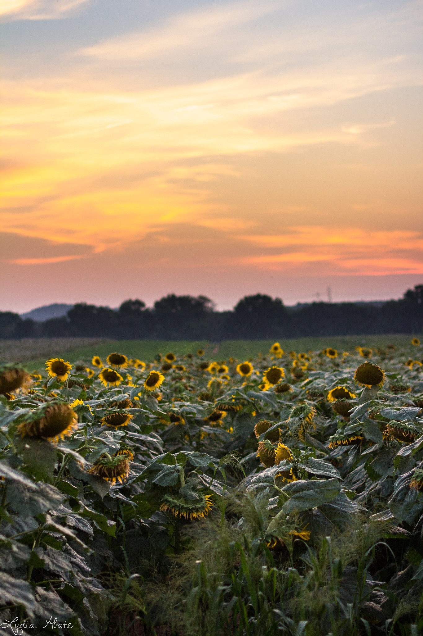sunflower field north branford connecticut-2.jpg