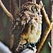 Noahs Ark - Owl 2