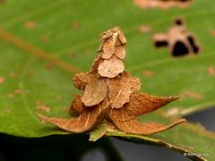 Pagoda bagworm, Psychidae