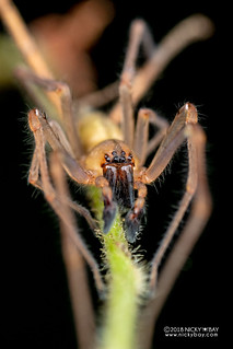 Long-legged sac spider (cf. Cheiracanthium sp.) - DSC_8906