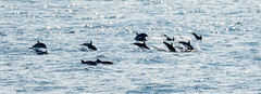 Large School/Pod ?? of Dolphins Traveling at Speed Headed North in the Bay of Biscay ( Estamated around 40-50 Here).