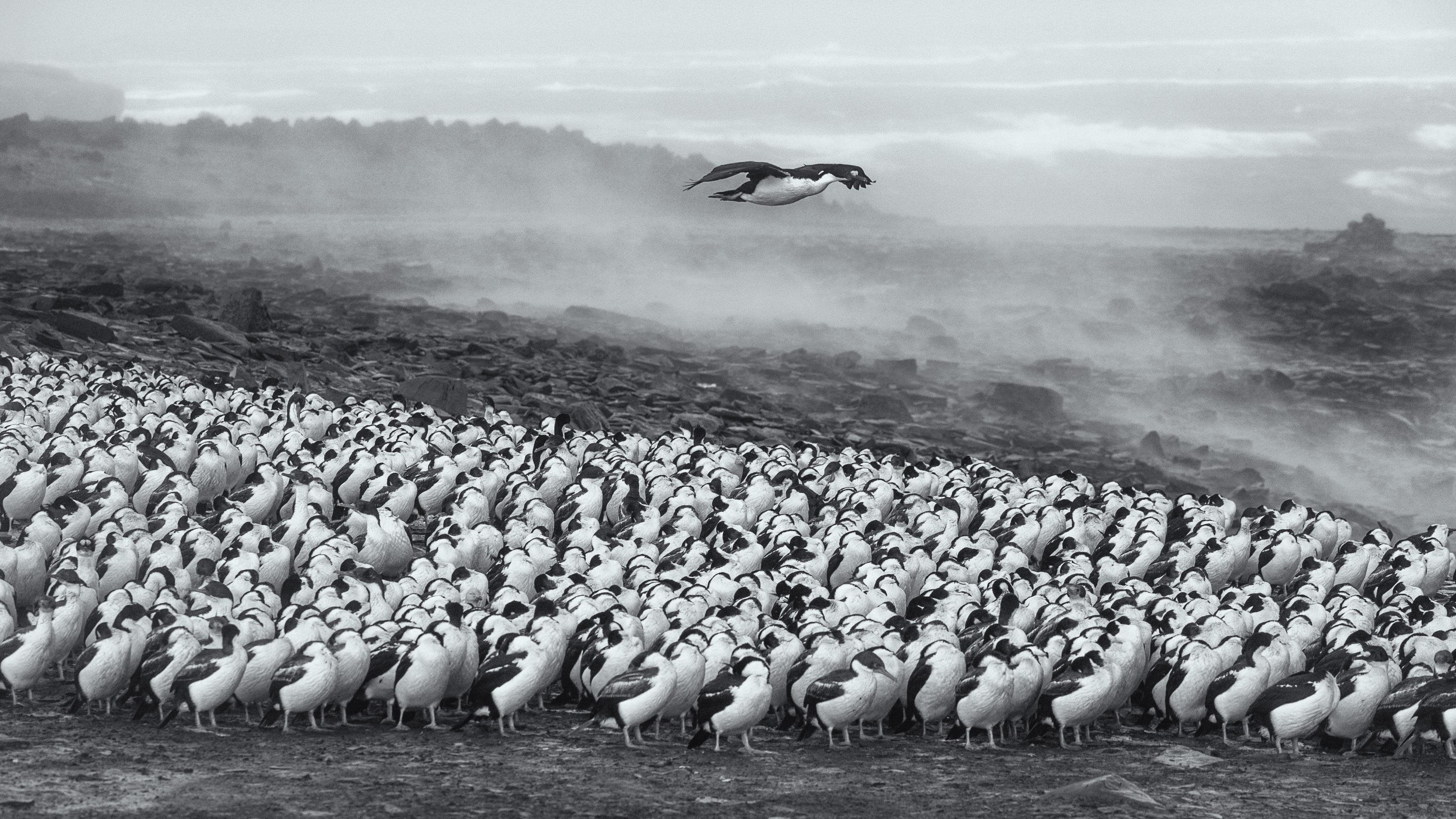 Rockhopper penguins on Sea Lion Island, Falkland Islands. Photo taken by Murray Foote on November 4, 2015.
