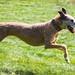 Dog so fast it levitates.
