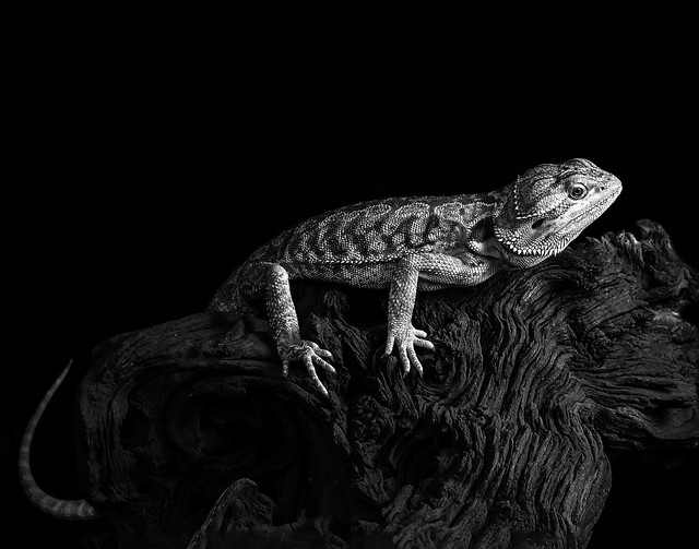 024693763799-105-Bearded Dragon-10-Black and White