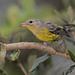 Magnolia Warbler With Berry by ruthpphoto