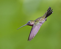 Long-billed Starthroat Hummingbirds - (Heliomaster longirostris)