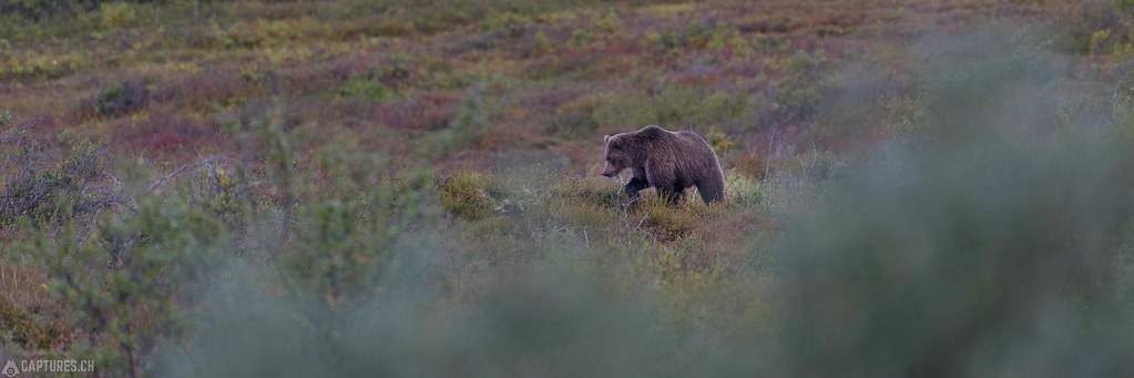 Bear on the move - Alaska