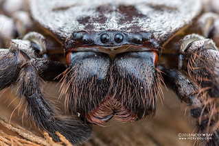 Huntsman spider (Damastes sp.) - DSC_1968
