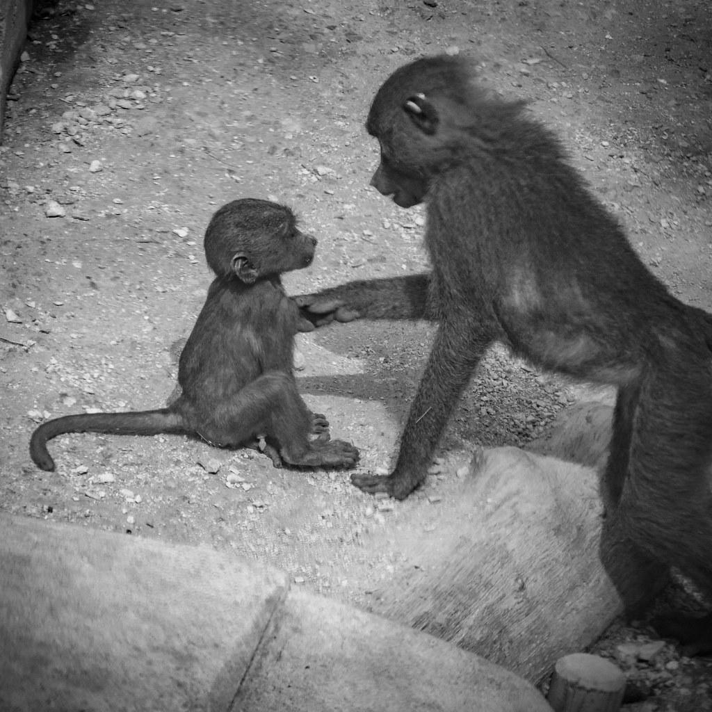 Le petit babouin... 43791317925_f7c887f7ee_b