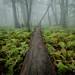 Foggy Ferns by jcernstphoto