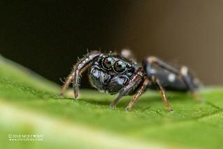 Ant-mimic jumping spider (Hispo tenuis) - DSC_0261