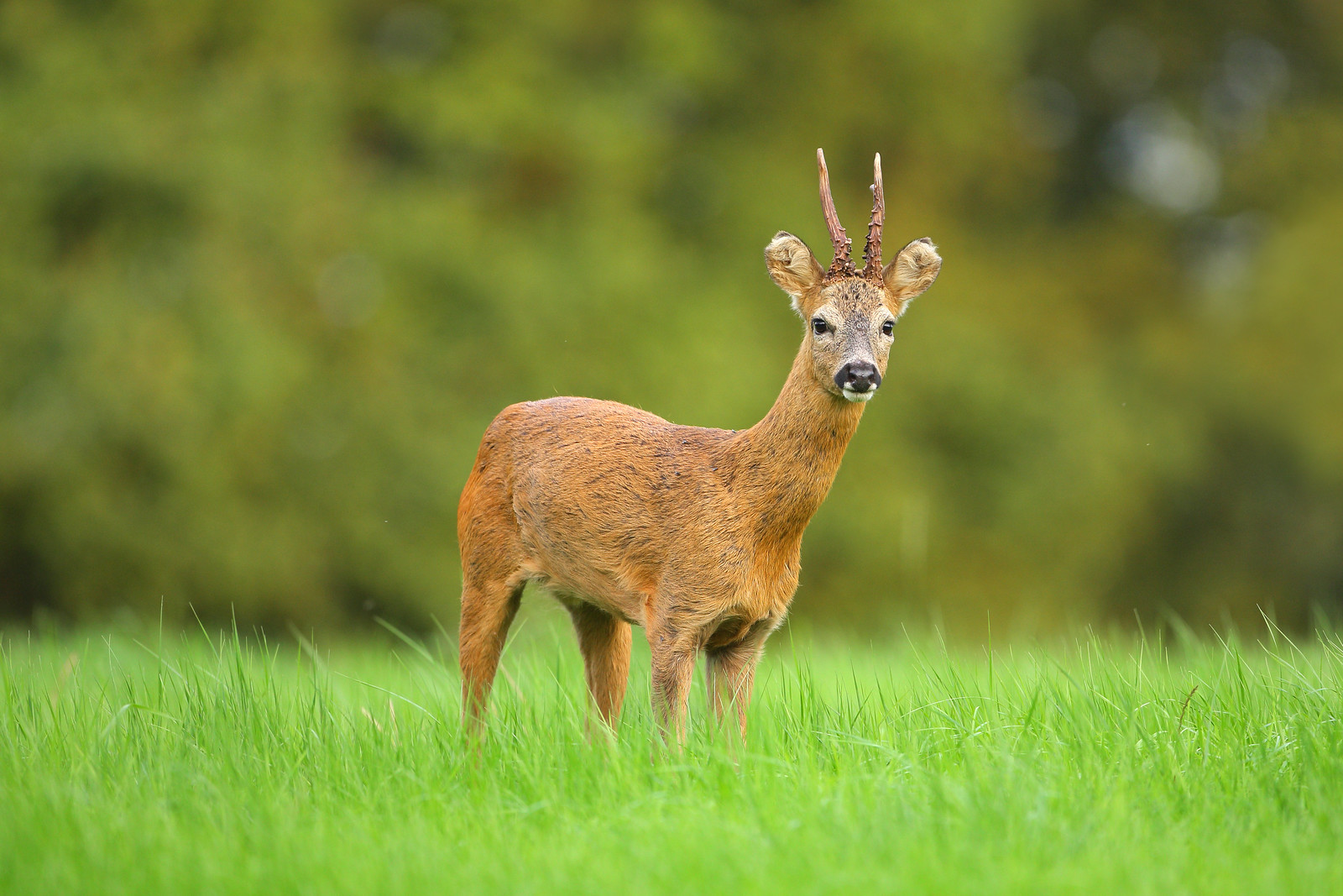 Young Roe Buck