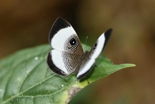 Mesosemia thymetus umbrosa (Riodinidae, Riodininae, Riodinini) — male