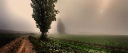 Poplars on a foggy morning