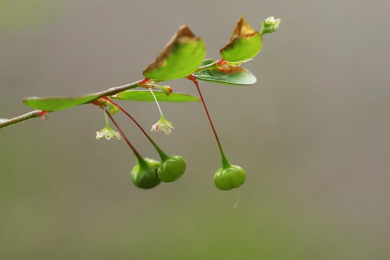 Phyllanthus tenellus  ナガエコミカンソウ(実)