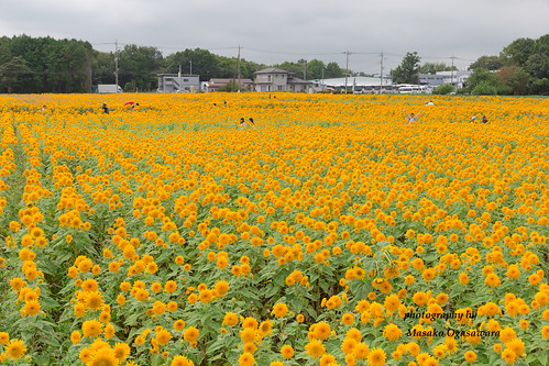 sunflower fields at the Akeno Sunflower Festiva