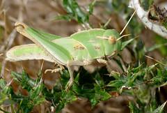 Migratory Locust (Locusta migratoria) nymph ...