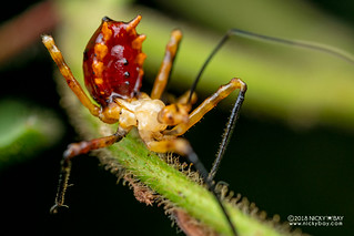 Assassin bug nymph (Reduviidae) - DSC_1250