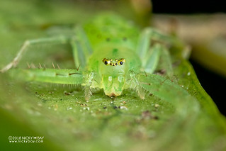 Green crab spider (Oxytate sp.) - DSC_2467
