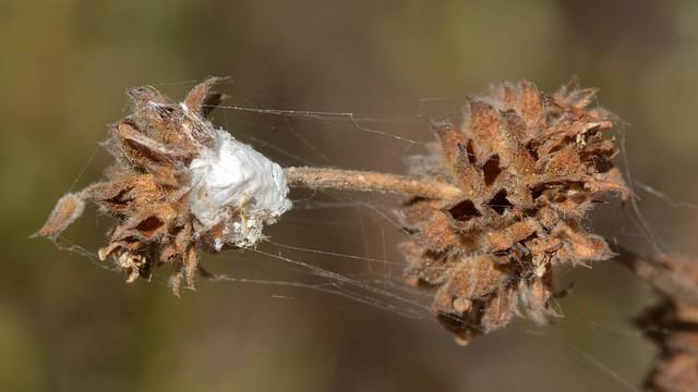 Spider egg sac and webbing on Black Sage - cribellate?