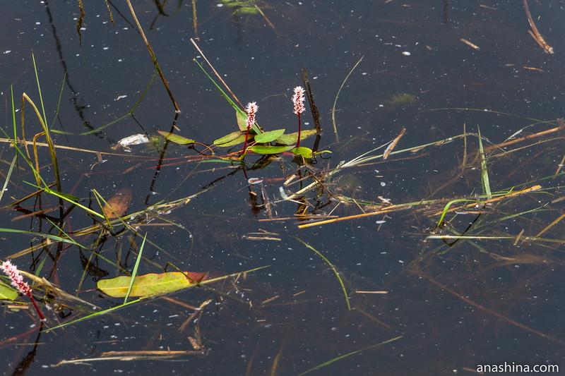 Водные растения, Ладожское озеро