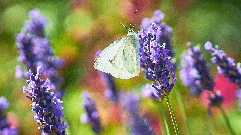 A butterfly on a lavender stalk