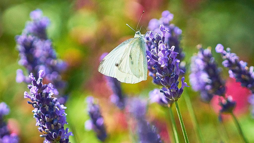A butterfly on a lavender stalk