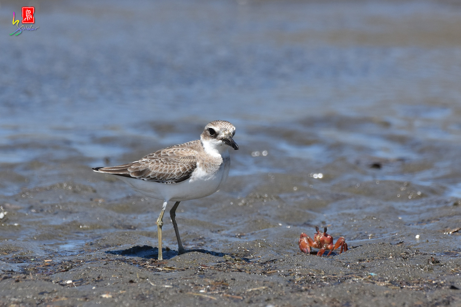 Greater_Sand_Plover_2992