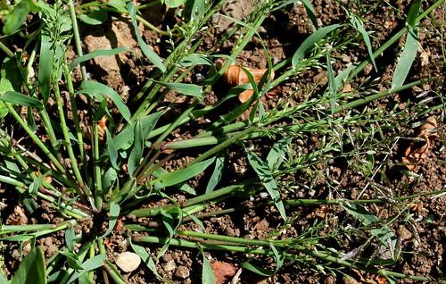 Eragrostis minor ou pas ? [identification à suivre] 30846705478_0021909f94