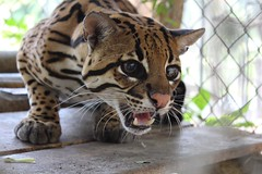 Tigrillo ocelote - Leopardus pardalis