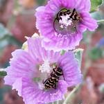 Escarabajo avispa en las lagunas de La Guardia (Toledo)