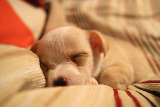 防災グッズとしても使えるブランケットで眠る犬