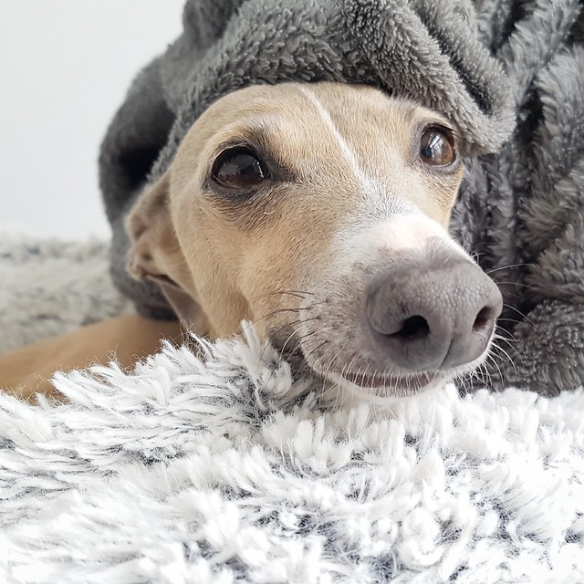Italian Greyhound Pictures and Informations - Dog-Breeds.com