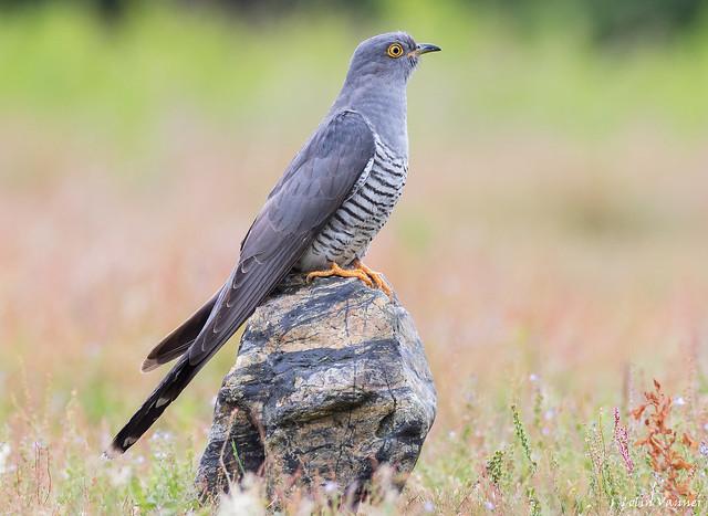 Cuckoo on a rock