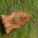 Large Fruit-tree Tortrix (Archips podana) ♀.