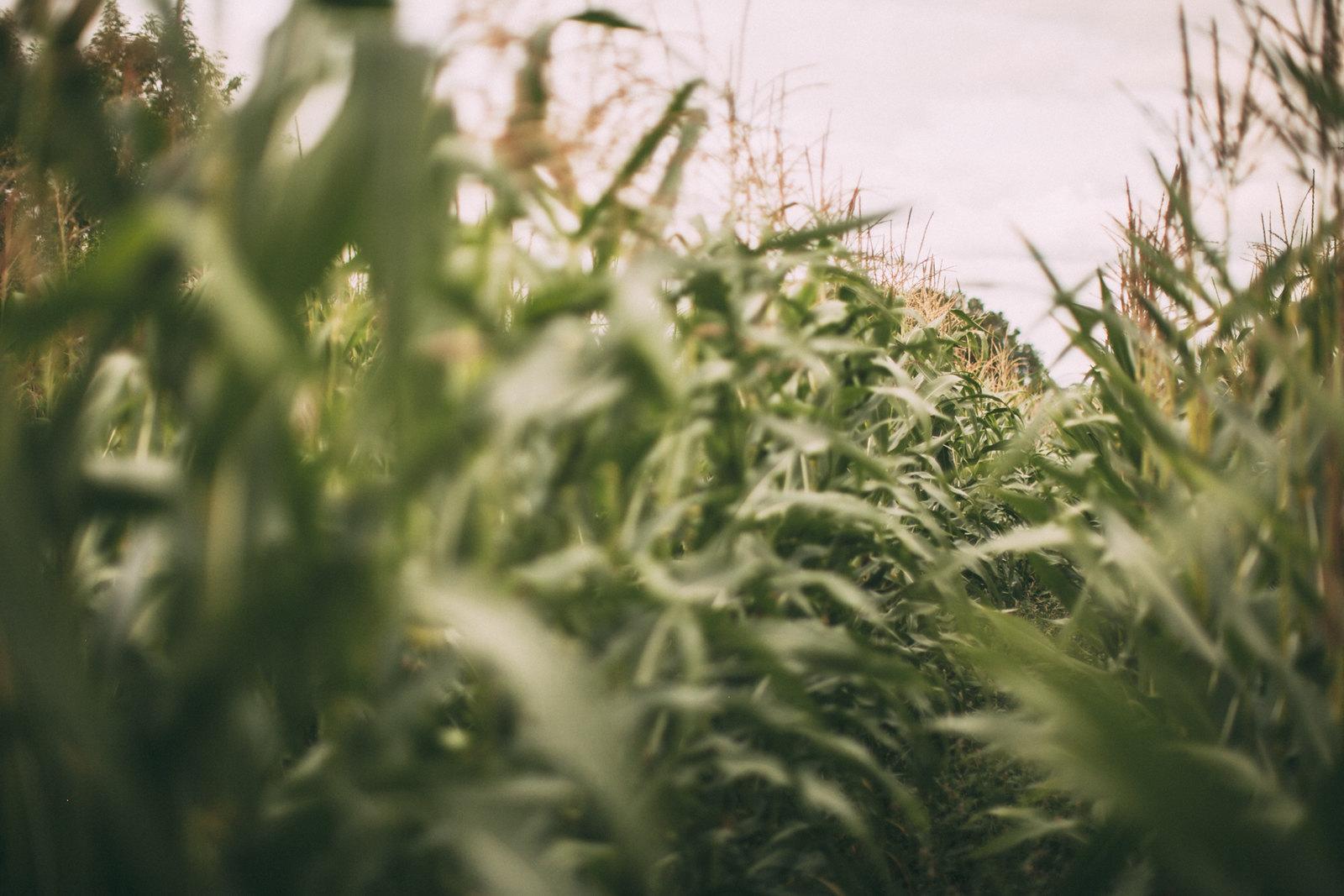 corn field-24