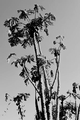 Mamón o Papaya