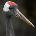 DSC00309-3.jpg Red Crested Crane