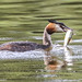 Great crested grebe with lunch.