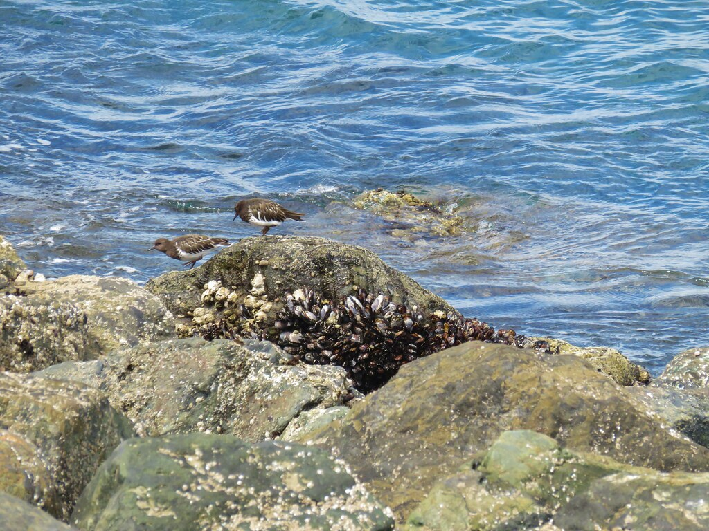 Black turnstones along the North Jetty