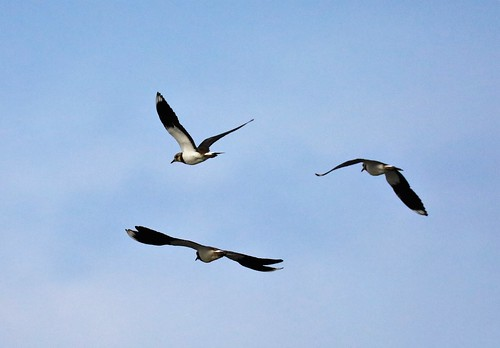 3C3A2325 Northern Lapwing